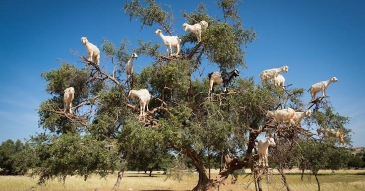 goats on the tree